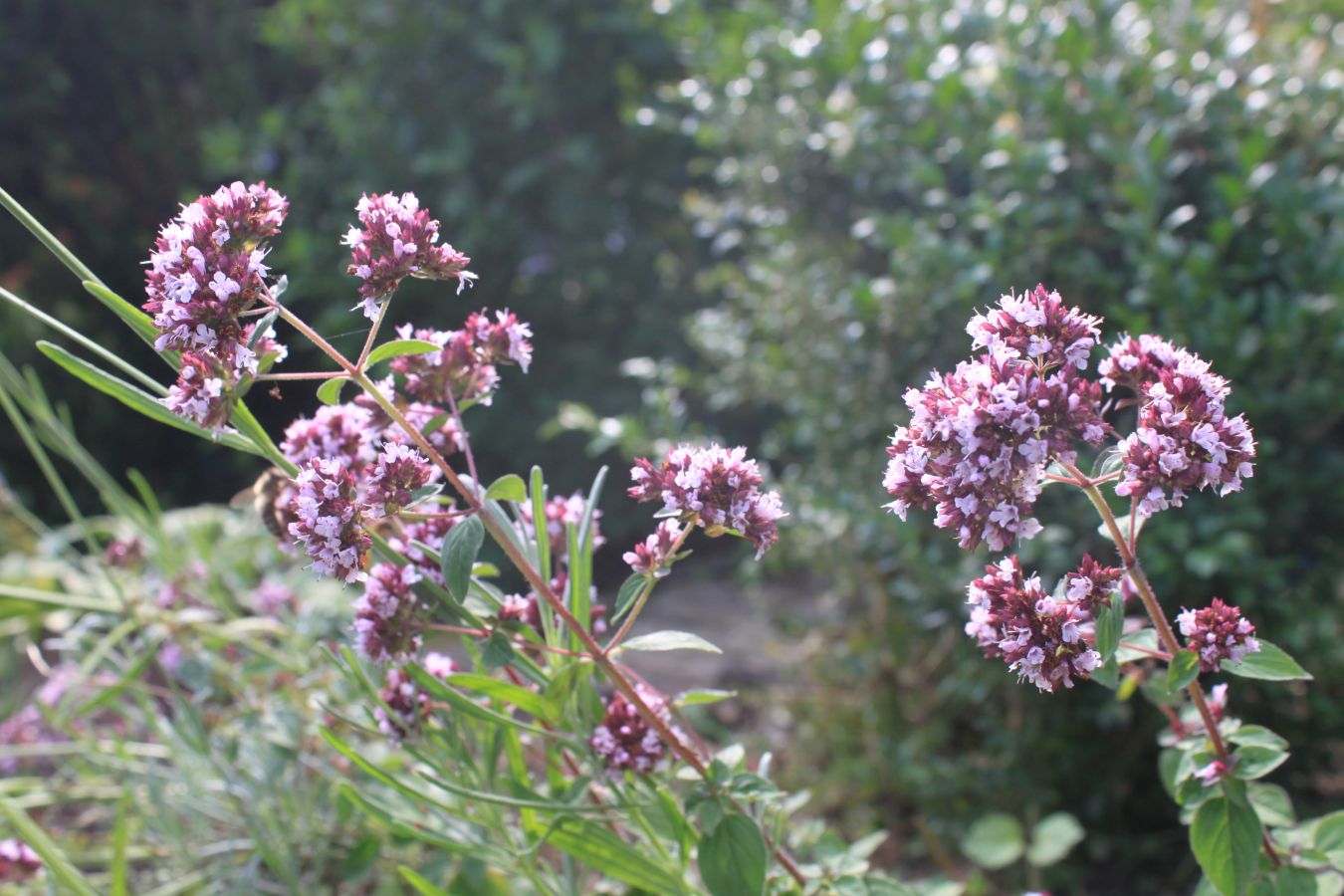 Wilder Oregano